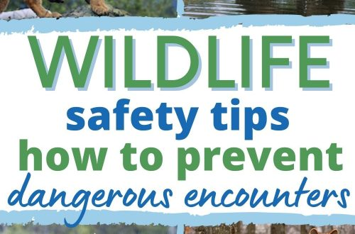 Picture of mountain lion, brown bear, moose, and coyote with text overlay Wildlife Safety Tips How to Prevent Dangerous Encounters